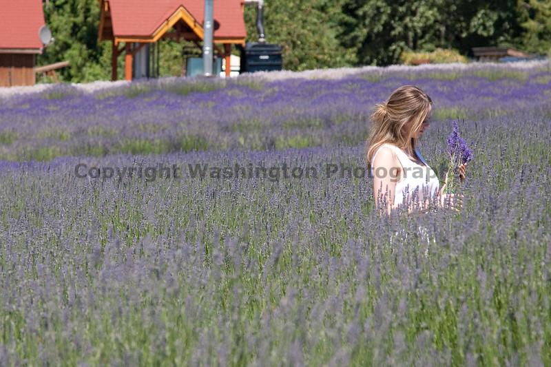 Lavender 18