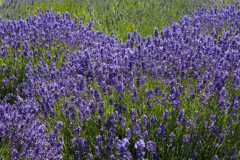 Lavender Farm 29