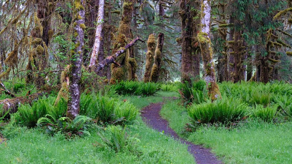 Spruce Trail, Hoh River, WA