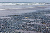 Long Beach Velella 14