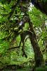 Hoh Rain Forest 131