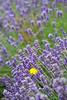 Lavender Farm 75