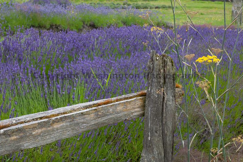 Lavender Farm 55