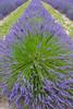 Lavender Farm 58