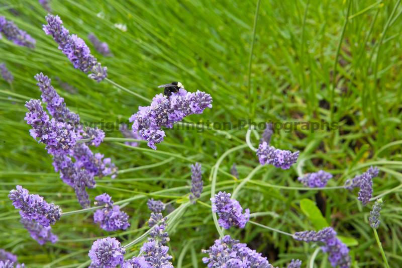 Lavender Farm 63