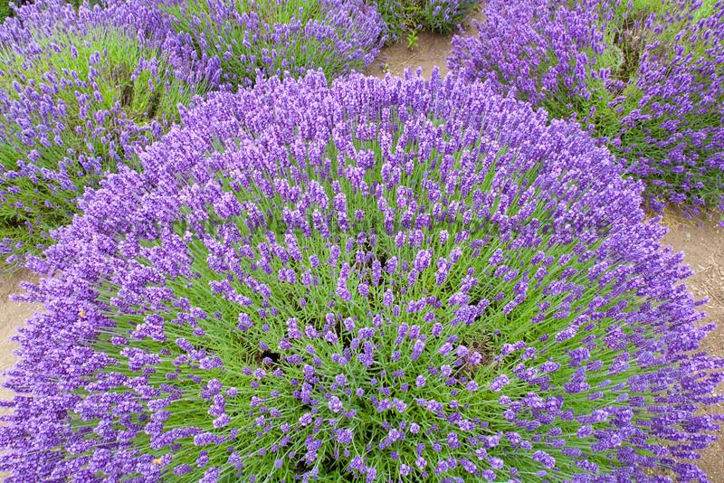 Lavender Farm 120