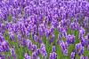 Lavender Farm 122