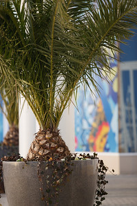 Palm trees in Sochi. 2014 Olympic Winter Games - Sochi, Russia. Photo: Sarah Brunson/USSA
