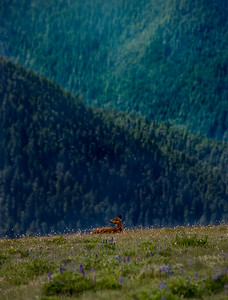 A lone doe resting among the lupine just below Hurricane Ridge Visitor Center in Olympic National Park