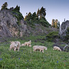 Goats grazing in Olympic National Forest, Mt Ellinor trail