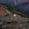 A shaggy mountain goat makes his way down Marmot Pass and away from backpacker camps.