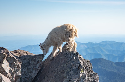 Summit hog atop Mt Ellinor