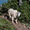 An adult mountain goat enjoys a bounty of summer wildflowers on the trail to Mt Ellinor in Olympic National Forest