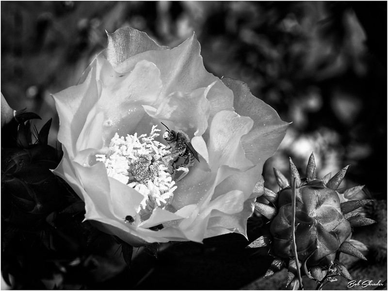 Texas Prickly Pear Cactus in Bloom