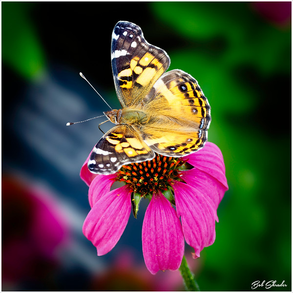 Butterfly on Coneflower in Color