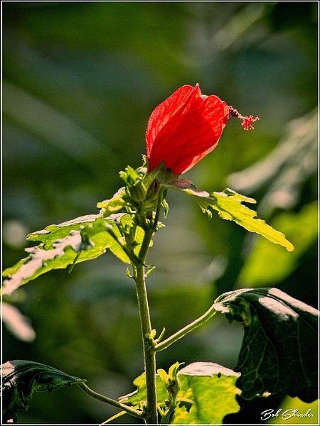 Turk's Cap in Afternoon Light