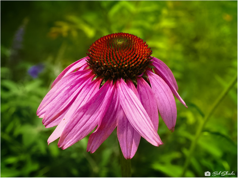 """Stylized rendering of Eastern Purple Coneflower. Raw development in DxO PureRAW. Additional raw development and processing in PhotoLine Beta (Topaz Adjust AI Beta & ON1 Effects 2021). """"You don't make a photograph just with a camera"""" — Ansel Adams."""