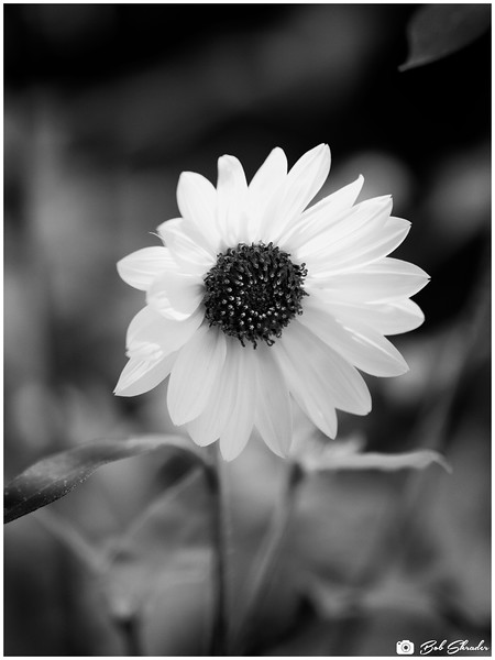 """One of two renderings of a common sunflower. Monochrome. Raw development and processing in DxO PhotoLab 4 Elite. Post processing in DxO Nik 3 Silver Efex Pro 2 (Film Types: Fuji Neon ACROS 100 - red filter). """"You don't make a photograph just with a camera"""" — Ansel Adams."""