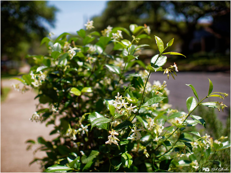Blooming Shrub in the 'hood