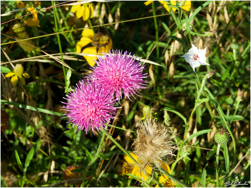 Thistles in a Patch