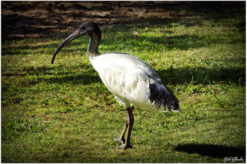 Ibis on the Grass