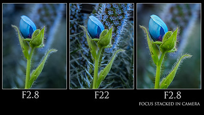 Focus stacking blue poppy
