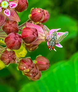 Housefly on milkweed