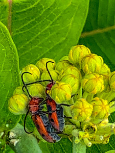 Milkweed beetles; hanging out, mating? whatever they are doing I love them.