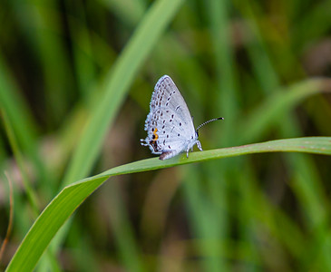 Eastern tailed-blue butterfly on a grass blade