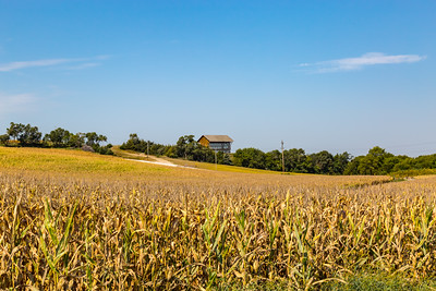Corn or maize field almost ready for harvesting. Corn or maize is one of the great products of Nebraska . The Holy Family Shrine in Gretna Nebraska is seen in the distance.