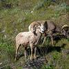 California Bighorn Sheep in Eastern Washington State