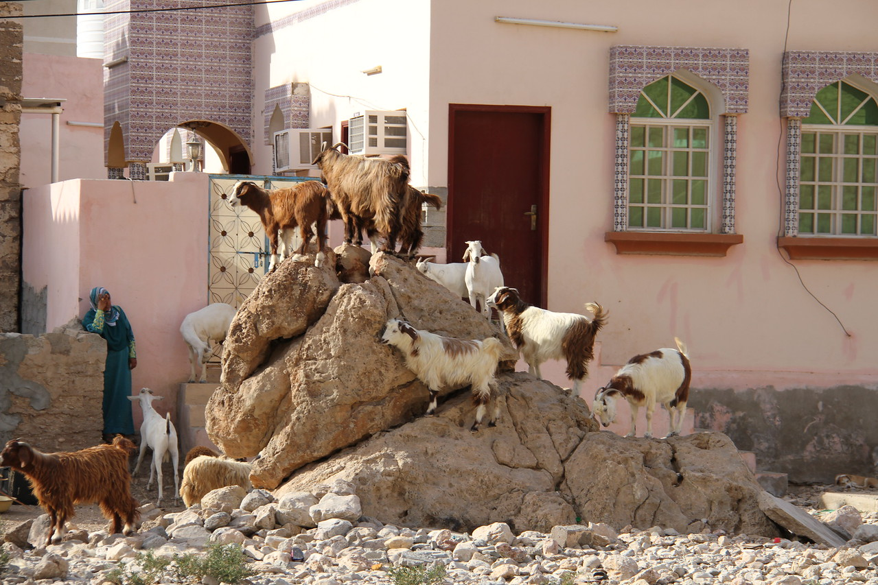 Plenty of goats
