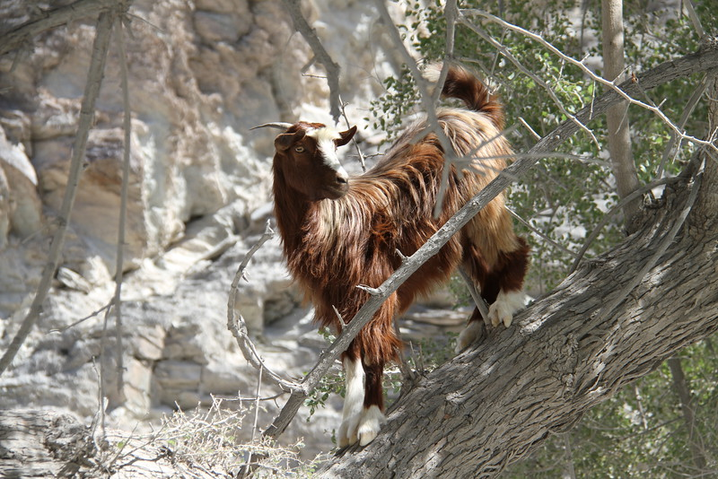 ..and a Goat up a  tree