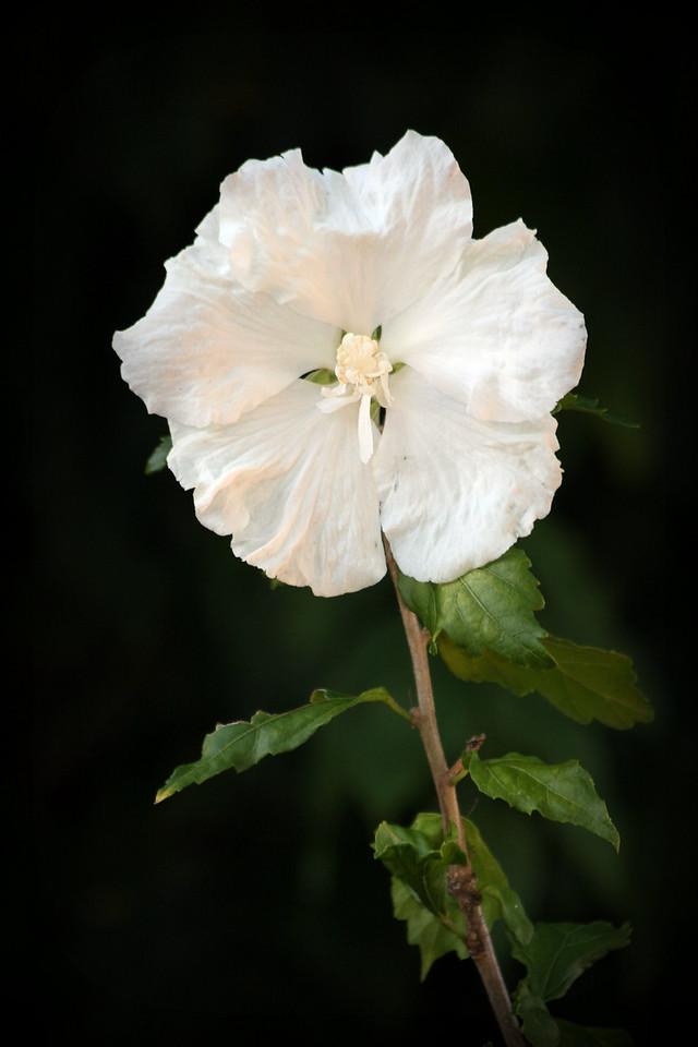 2010 White Rose Of Sharon 2<br /> Backyard