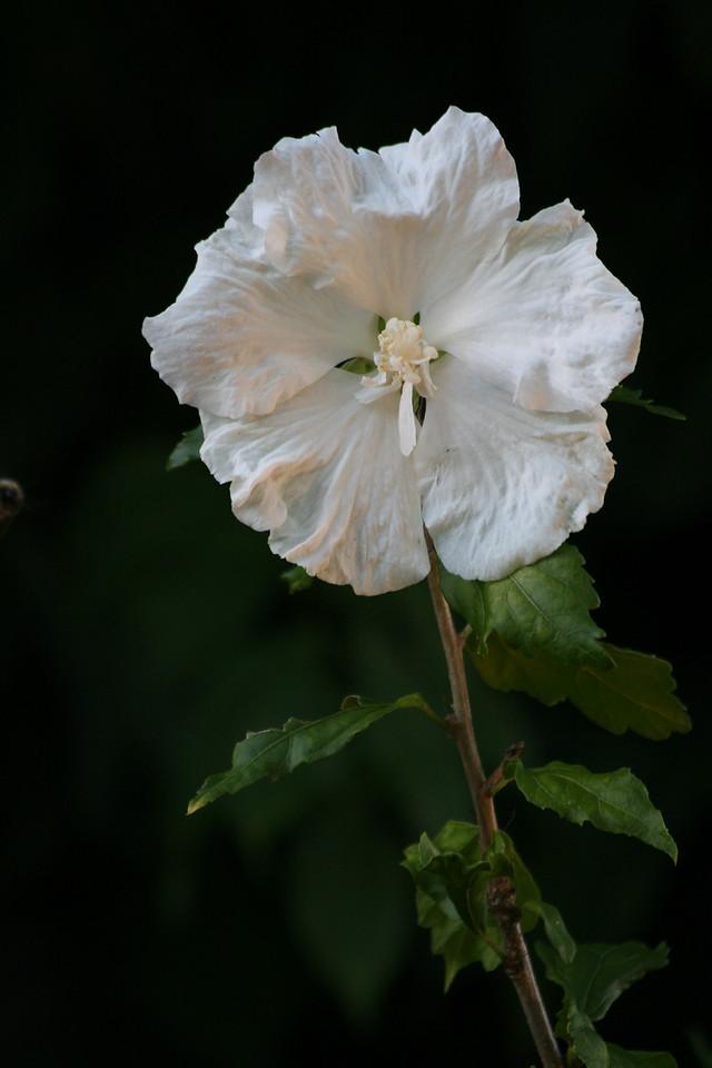 2010 White Rose Of Sharon<br /> Backyard