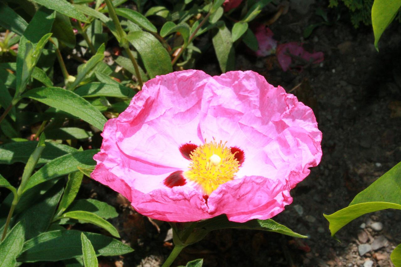 Rock Rose<br /> Front Yard