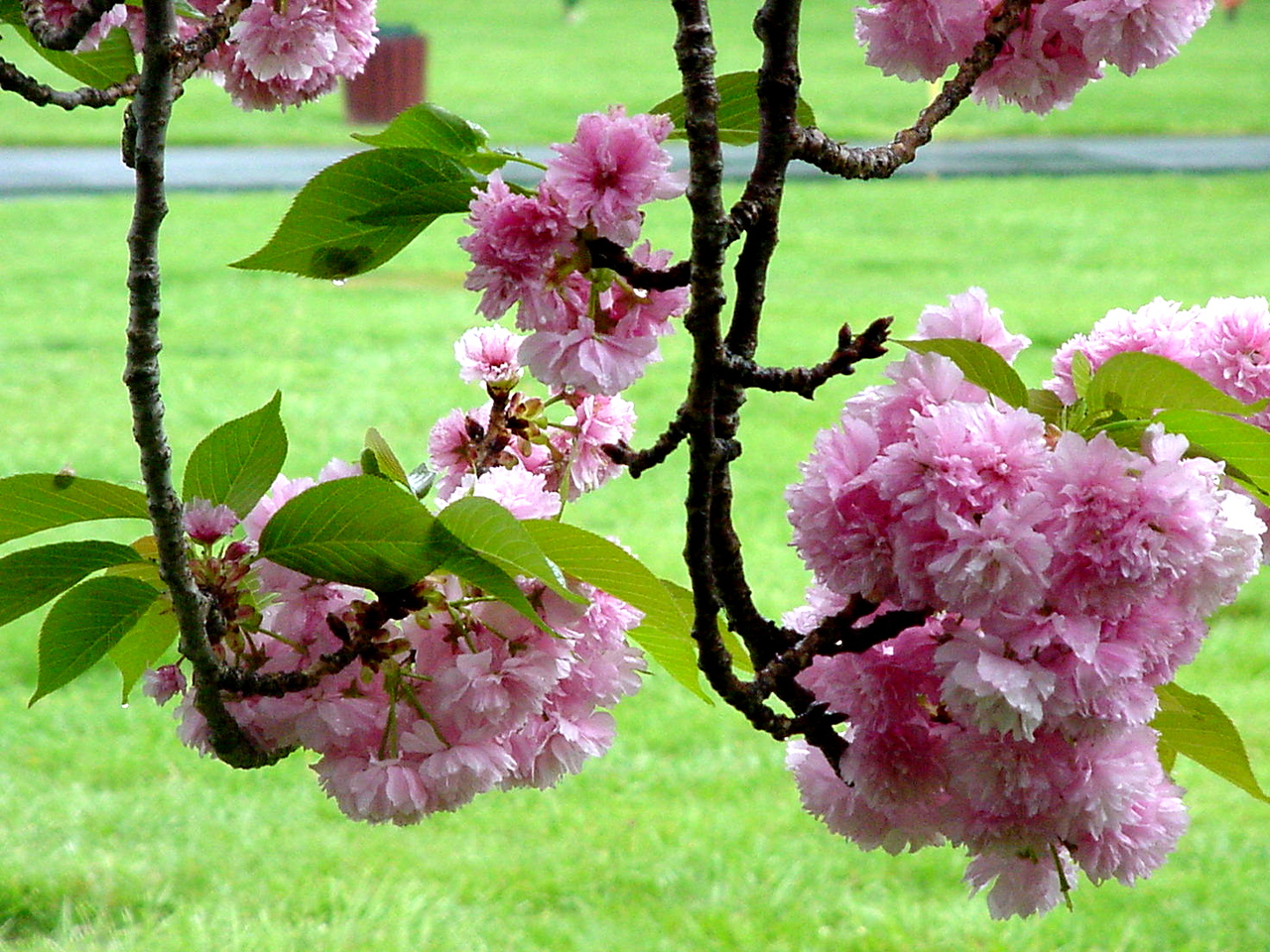 Cherry Blossoms<br /> Maryland<br /> 2002
