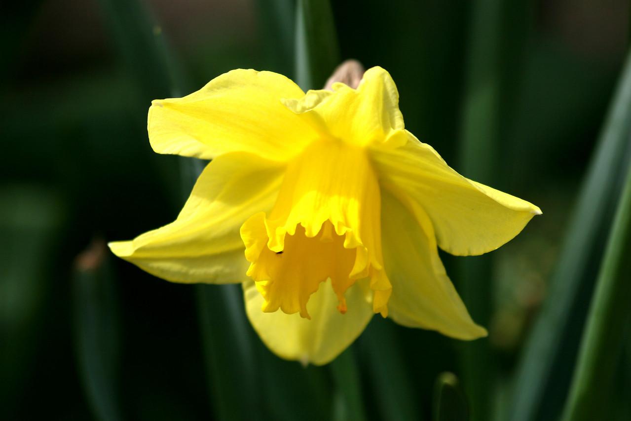Daffodil<br /> Front yard