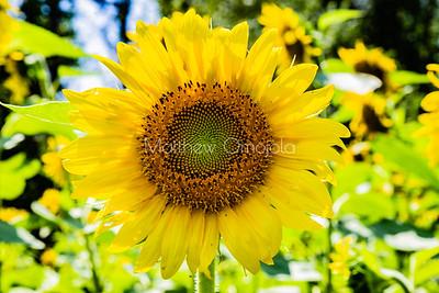 Sunflowers Nebraska city