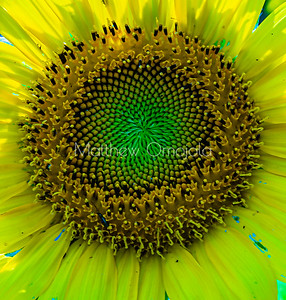 Close up sunflower disc florets