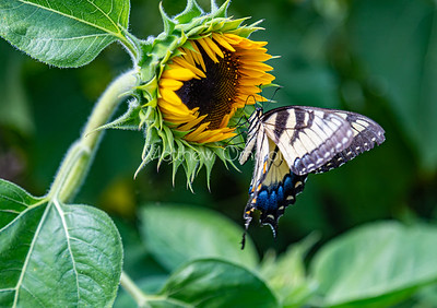 Newly opened sunflower bud with Eastern Tiger Swallowtail butterfly