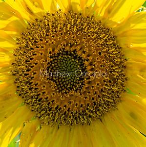 Close up sunflower disc florets