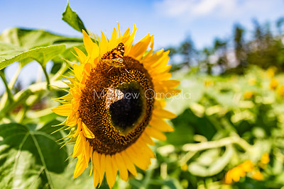 Sunflower with two painted lady butterflies