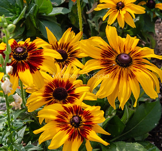 Ring of fire sunflowers Huntington Library California