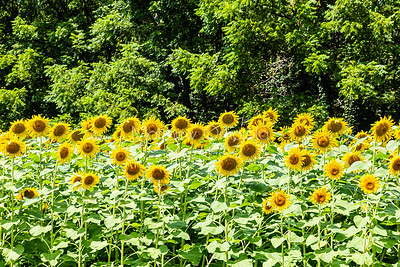 Sunflower fields Nebraska city