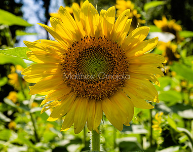 Golden yellow Sunflowers Nebraska city