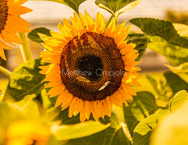 Sunflower - perfect golden. Two butterflies Blurred surrounding