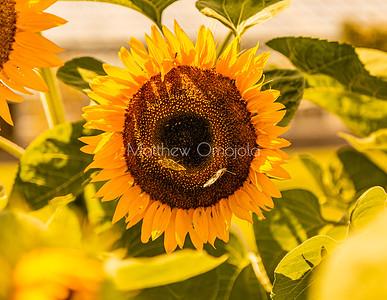 Sunflower - perfect golden. Two butterflies Blurred surrounding