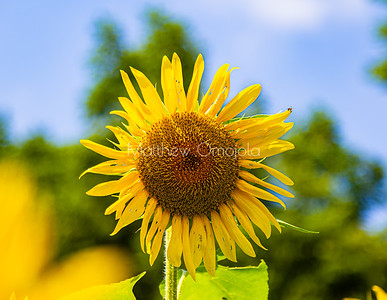 Sunflower against the blue sky with blurred background.