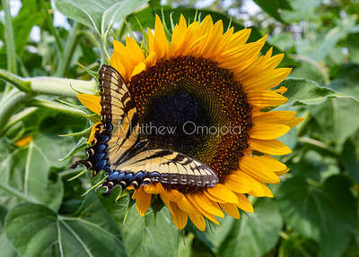 Swallowtail butterfly on sunflower